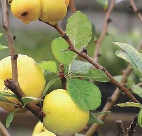 Svarainis – citrina iš mūsų kaimo
