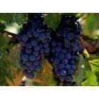 Vynuogių nauda sveikatai
